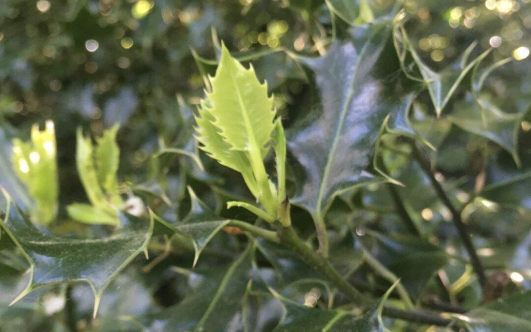The holly bears a leaf as sharp as any thorn…